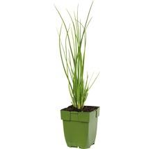 6 x ciboulette Allium schoenoprasum h 5-20 cm Co 0,5 l-thumb-1