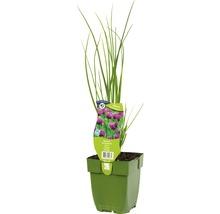 6 x ciboulette Allium schoenoprasum h 5-20 cm Co 0,5 l-thumb-0