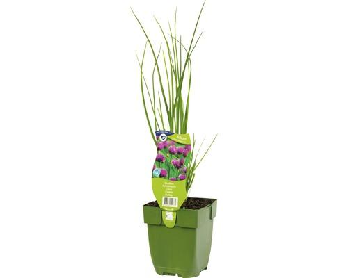 6 x ciboulette Allium schoenoprasum h 5-20 cm Co 0,5 l-0
