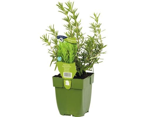 6 x romarin FloraSelf Rosmarinus officinalis h 5-20 cm Co 0,5 l