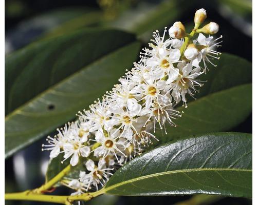 Zwerg-Kirschlorbeer Prunus laurocerasus ''Gajo'' H 25-30 cm Co 2 L