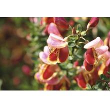 Genêt à balais FloraSelf Cytisus scoparius ''Burkwoodii'' H 40-60 cm Co 2 L-thumb-1