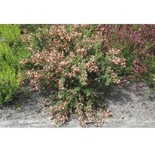 Genêt à balais FloraSelf Cytisus scoparius ''Burkwoodii'' H 40-60 cm Co 2 L-thumb-2