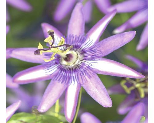 Passionsblume Passiflora ''Amethyst'' H 70-75 cm Co 2,3 L