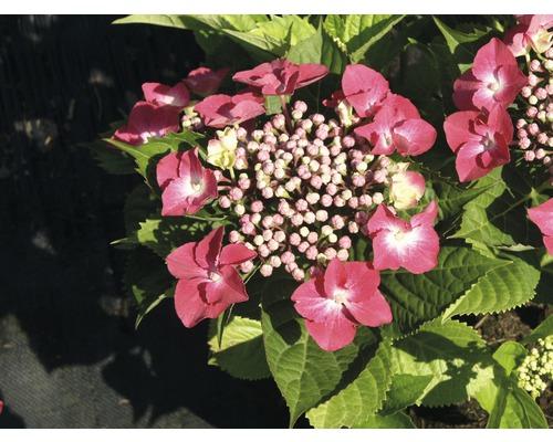 Hortensia rouge 30-40 cm