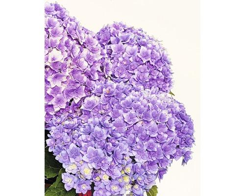 Hortensia FloraSelf® Hydrangea intermedia Together 30-40 cm