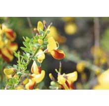 Genêt à balais FloraSelf Cytisus scoparius ''Firefly'' H 60-80 cm Co 4 L-thumb-0