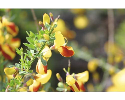 Genêt à balais FloraSelf Cytisus scoparius ''Firefly'' H 60-80 cm Co 4 L-0