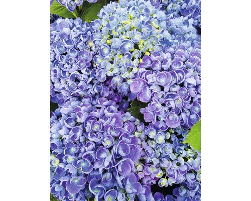 Gartenhortensie, Bauernhortensie FloraSelf Hydrangea macrophylla ''Hovaria Hopcorn'' H 30-40 cm Co 4,6 L