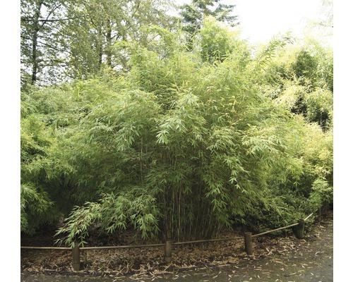 Bambou de jardin robuste Standing Stone 40-60 cm