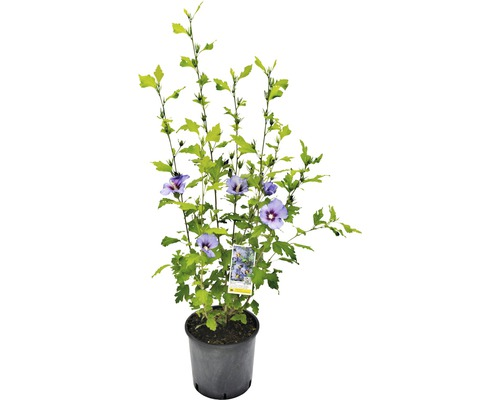 Hibiscus syriacus ''Marina'' H60-80 cm Co 5 L