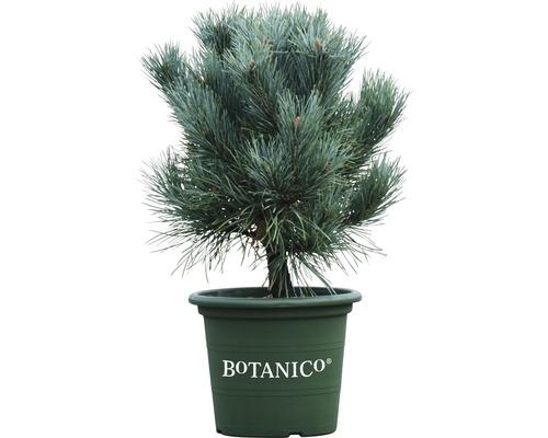 Pinus sylvestris Watereri H 30-40 cm Co 6 L