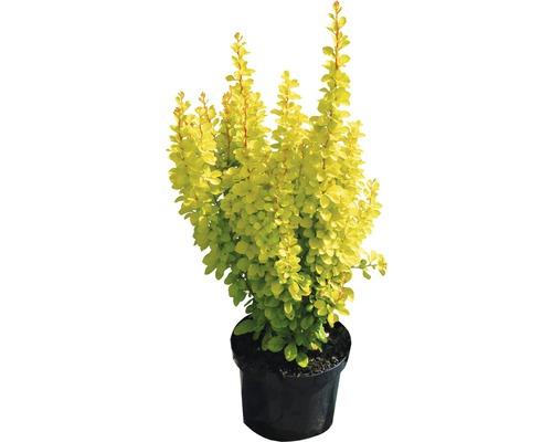 """gelbe Zwergberberitze Berberis thunbergii """"Maria""""® H 30-40 cm Co 4,5 L"""