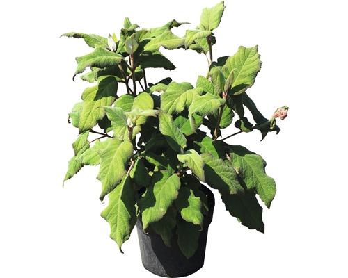 Hortensia rugueux, Hydrangea velu FloraSelf Hydrangea aspera ''Plum Passion'' h 40-60 cm Co 6 l
