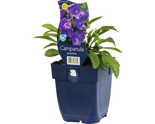 Campanule Campanula persicifolia coerulea h 5-20 cm Co 0,5 l (6 pce.)-0