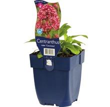 Valériane rouge Centranthus ruber ''Cocciuneus'' h 5-60 cm Co 0,5 l (6 pièces)-thumb-1