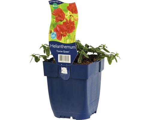 Hélénie Helenum-Cultivars ''Ceris Queen'' h 5-20 cm Co 0,5 l (6 pce.)