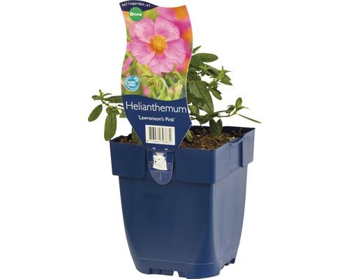 Hélianthème Helianthemum ''Lawrenson''s Pink'' h 5-20 cm Co 0,5 l (6 pce.)