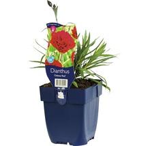 Œillet commun FloraSelf Dianthus caryophyllus ''Odessa Red'' H 5-20 cm Co 0,5 L (6 pièces)-thumb-0
