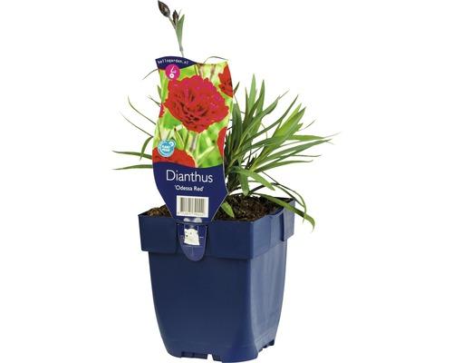 Œillet commun FloraSelf Dianthus caryophyllus ''Odessa Red'' H 5-20 cm Co 0,5 L (6 pièces)