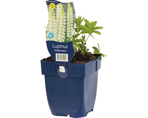 Lupine Lupinus -Cultivars ''Noblemaiden'' H 5-80 cm Co 0,5 L (6 Stk.)