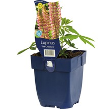 Lupin Lupinus -Cultivars ''Chatelaine'' h 5-100 cm Co 0,5 l (6 pce.)-thumb-0