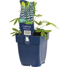 Lupin Lupinus -Cultivars ''Governor'' h 5-100 cm Co 0,5 l (6 pce.)-thumb-0
