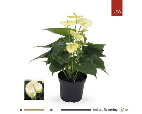 Langue de feu / Anthurium FloraSelf Anthurium andreanum ''Grandiflora Lime'' H35-40 cm pot Ø 12 cm