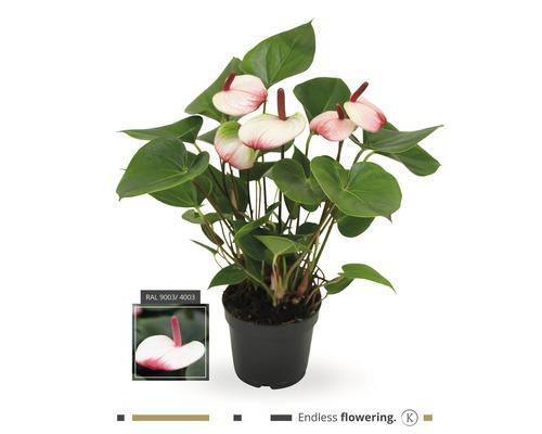 Langue de feu FloraSelf Anthurium andreanum ''Hotlips'' H 35-40 pot Ø 12 cm
