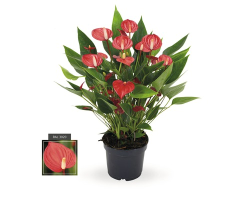 Langue de feu FloraSelf Anthurium andreanum ''Million Flowers Red'' H 10-20 pot Ø 12 cm