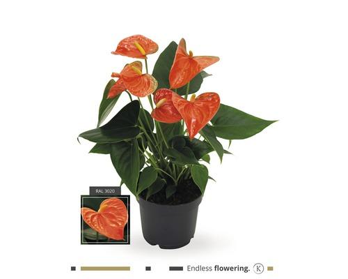 Langue de feu - Anthurium FloraSelf Anthurium andreanum h 35-40 cm pot de Ø 12 cm orange