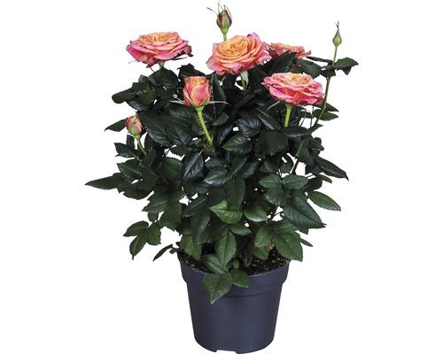 Rosier Santa Catalina FloraSelf Rosa Hybride ''Lenora'' h 30-40 cm pot Ø 13 cm orange