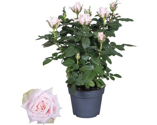 Rosier Santa Catalina FloraSelf Rosa Hybride ''Catalina'' h 30-40 cm pot Ø 13 cm rose clair
