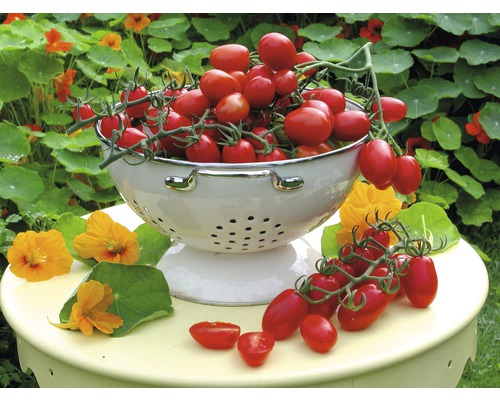 Tomate prune ''Dasher'' F1 FloraSelf pot Ø 12 cm greffée