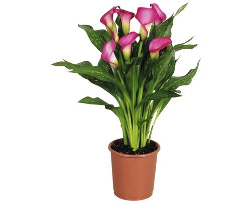 Arum FloraSelf Zantedeschia ''Zazu'' H 40-45 cm pot Ø 13 cm rose vif