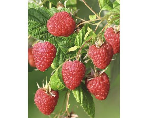 Framboise de jardin précoce Hof:Obst Rubus idaeus ''Malling Happy'' h 30-40 cm co 3,4 l
