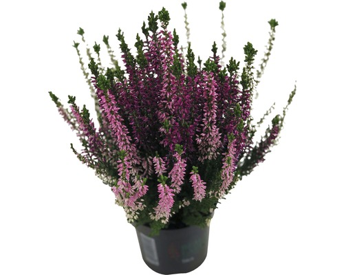 Bruyère commune, brande, béruée FloraSelf Calluna vulgaris Beauty Ladies ''Trio'' pot Ø 9,5 cm