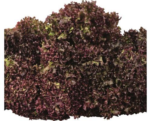 Salade à couper BIO ''Lollo rosso'' FloraSelf 6pces