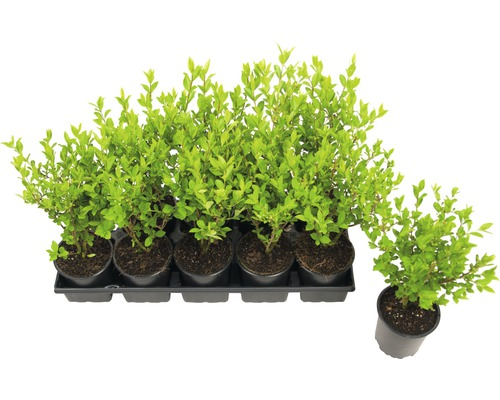 Troène de Californie FloraSelf Ligustrum ovalifolium h 40-50 cm co 0,6 l