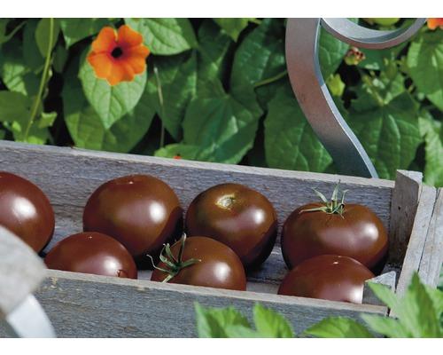 Tomate chocolat ''Kakao'' F1 FloraSelf pot Ø 12 cm greffée
