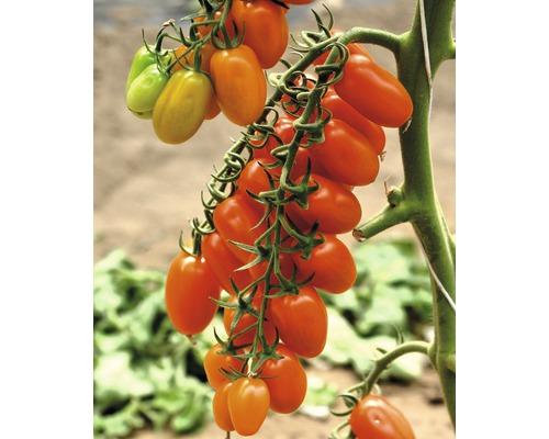 Tomate datte ''Datterino'' F1 FloraSelf pot Ø 12 cm greffée