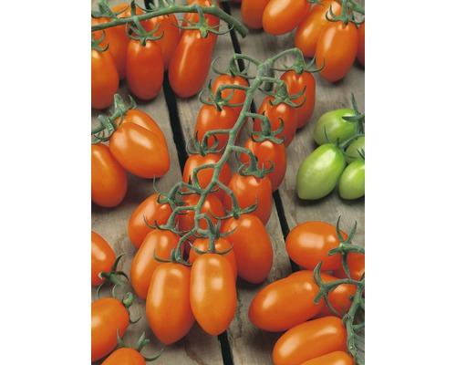 Tomate prune ''Santorange'' F1 FloraSelf pot Ø 12 cm greffée