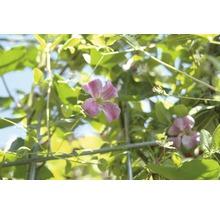 Sichtschutzhecke Helix Efeu mit Waldrebe rosa H180xB120 cm-thumb-1