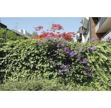 Sichtschutzhecke Helix Efeu mit Waldrebe violett H180xB120 cm-thumb-2