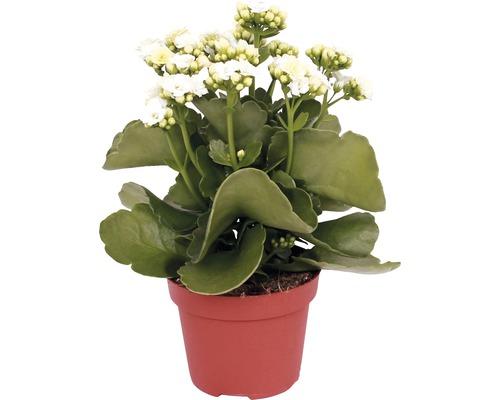 Kalanchoé de Blossfeld Kalanchoe blossfeldiana h 10-15 cm pot de Ø 7 cm, différentes couleurs