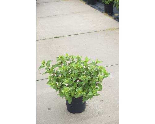 Hortensia paniculé FloraSelf Hydrangea paniculata ''Mojito'' h 50-60 cm co 6 l