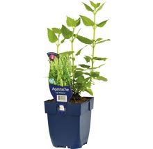 Agastache rugosa ''Alabaster'' h 5-70 cm Co 0,5 l (6 pce.)-thumb-1