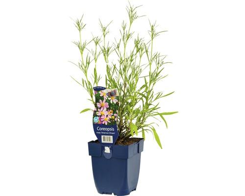Œil de jeune fille Coreopsis rosea ''American Dream'' H 5-30 cm Co 0,5 l (6 pce.)-0