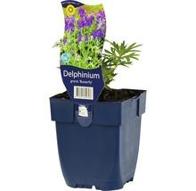 Pied-d''alouette Delphinium grandiflorum ''Butterfly'' h 5-30 cm Co 0,5 l (6 pce.)-thumb-0