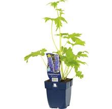 Pied-d''alouette Delphinium-Cultivars Blue Bird'' h 5-150 cm Co 0,5 l (6 pce.)-thumb-0